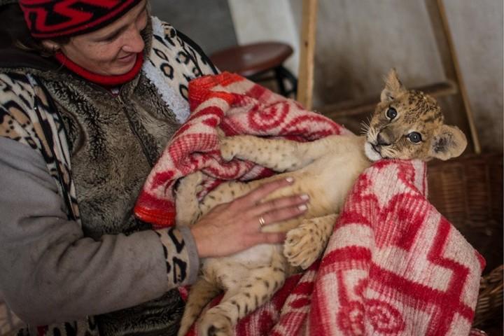 Замерзающим львятам в крымском зоопарке привезли новый генератор