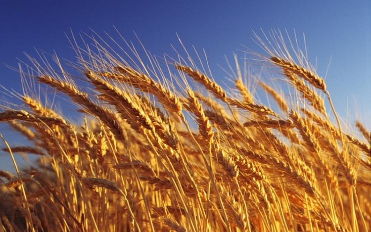 Санкционный бумеранг ударил по США российским зерном