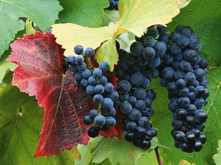 Возрождение отечественного производства:  расцвет российского виноделия