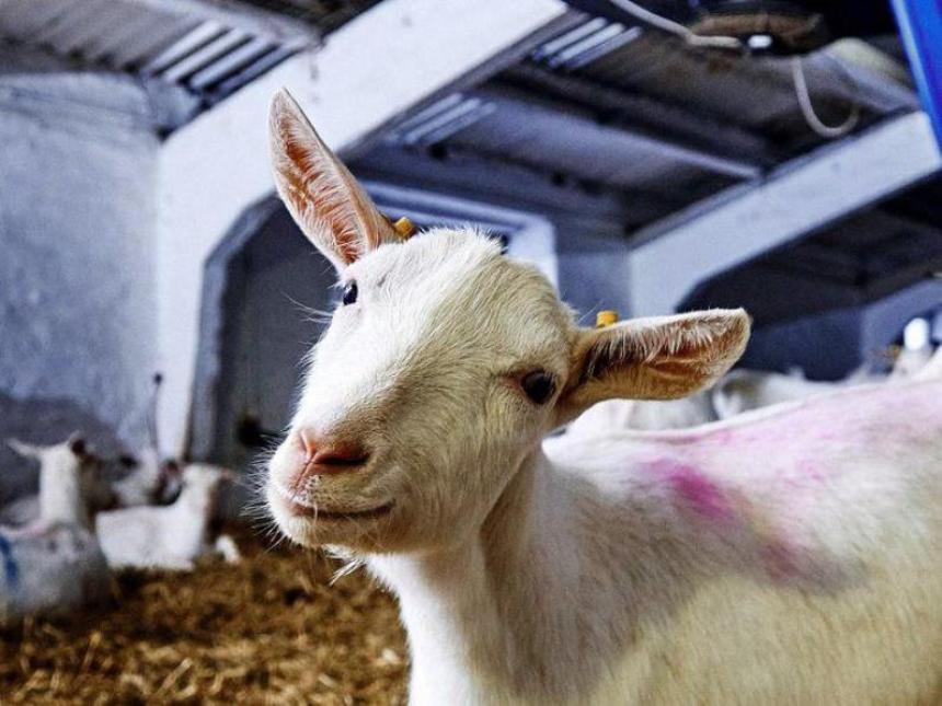 Молочный крах Запада: Российская ферма «Лукоз Саба» станет крупнейшей в мире