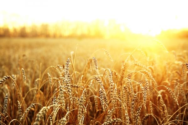 В России планируют собрать рекордный за всю историю урожай зерна